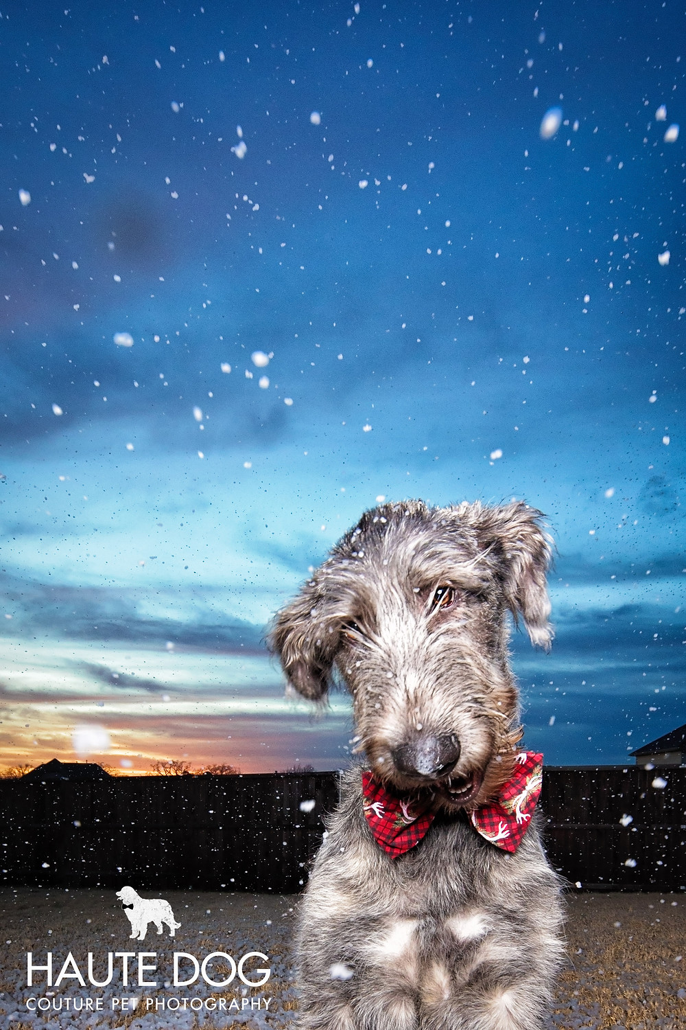 Irish Wolfhound Dog plays in snow in Dallas