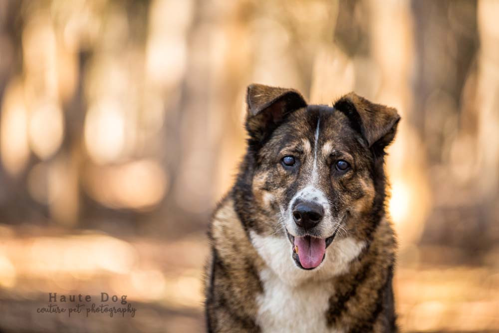 Shepherd mix | pet photography