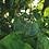 Thumbnail: Spiritual Ivy
