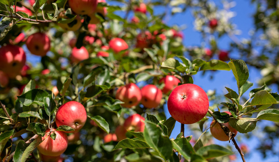 Red juicy Discovery apples in Dragon Orchard