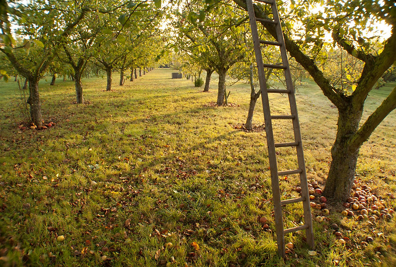 Wooden ladder resting against apple tree during harvest time at Dragon Orchard