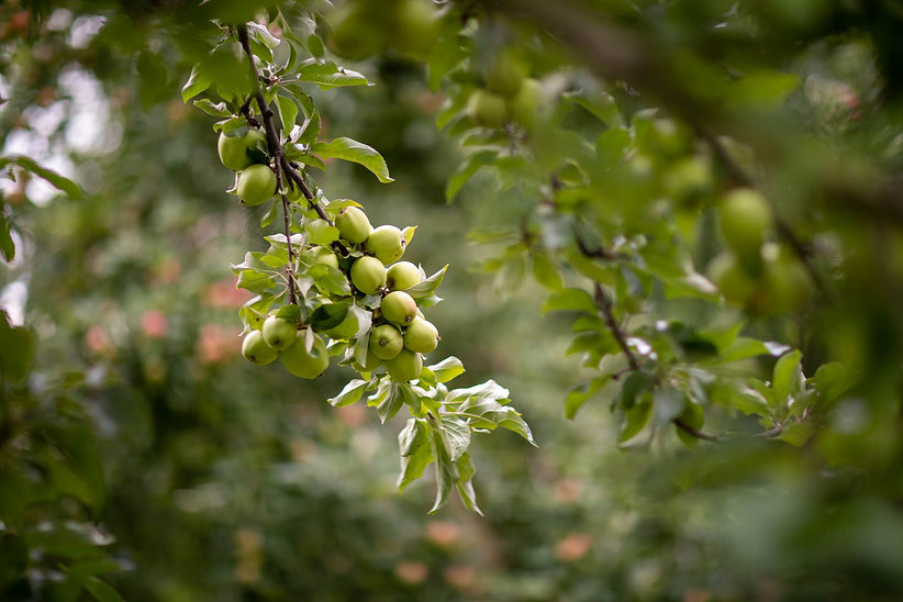 Green apples growing on branch of apple tree