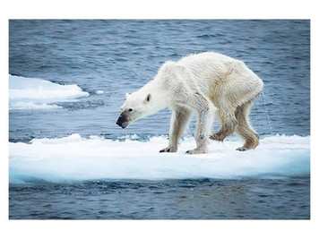 Polar bears near extinction – actually better than for 100 years