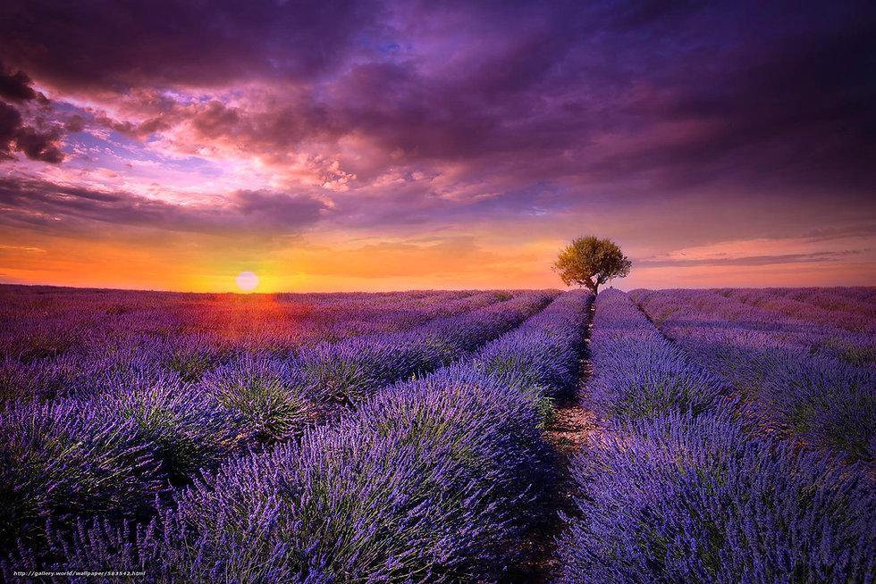 Lavender field.jpg