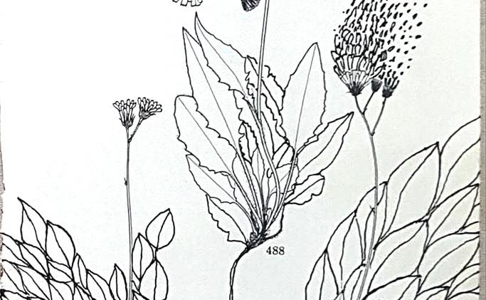 Islenskflora-fellafifill.jpg