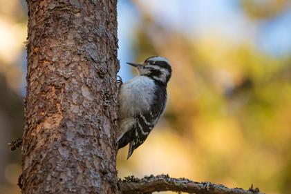 #11: Hairy Woodpecker