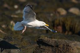 #20: Herring Gull 1