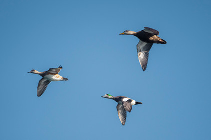 #10: American Wigeon (with Black Duck)