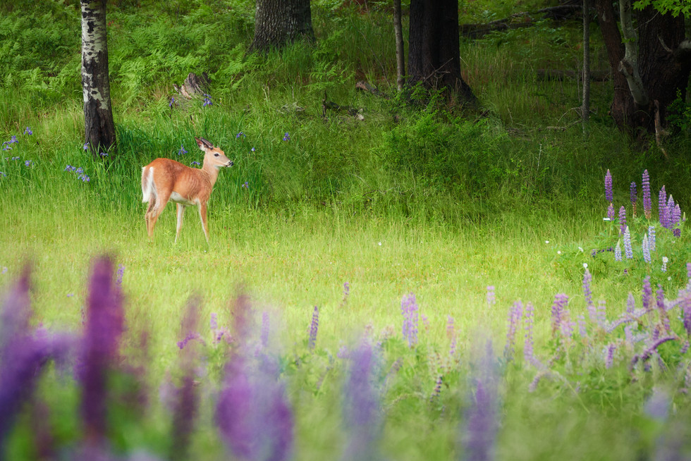 Deer and Lupines