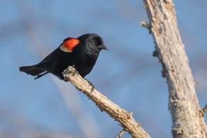 #14: Red-winged Blackbird 2