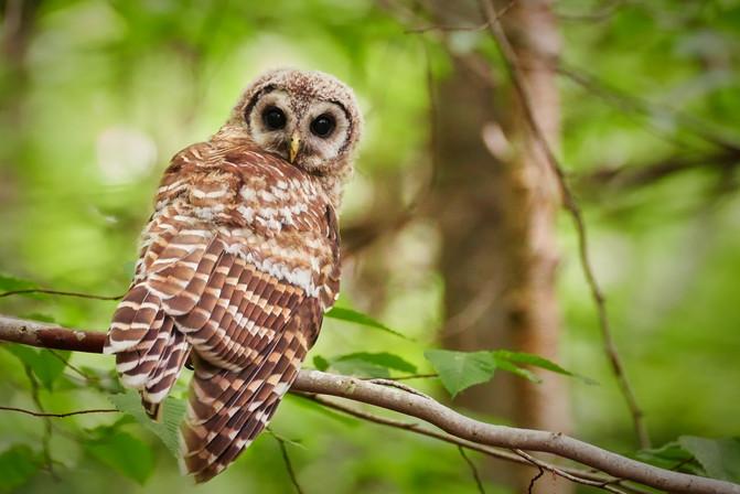 Juvenile Barred Owl 2