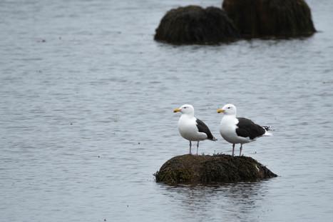 #21: Great Black-backed Gull 2