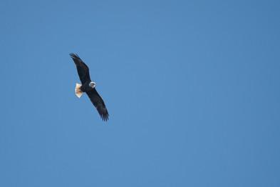 #4: Bald Eagle