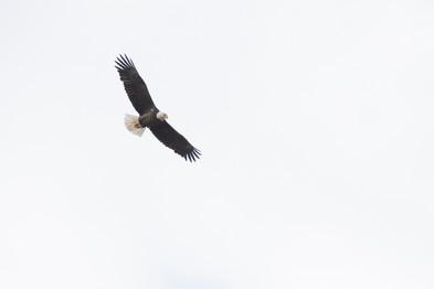 #4: Bald Eagle 2