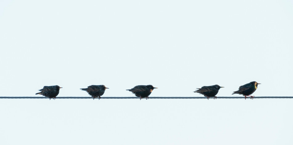 #30: European Starlings