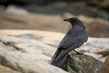 #7: American Crow 3
