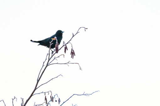 #14: Red-winged Blackbird 1