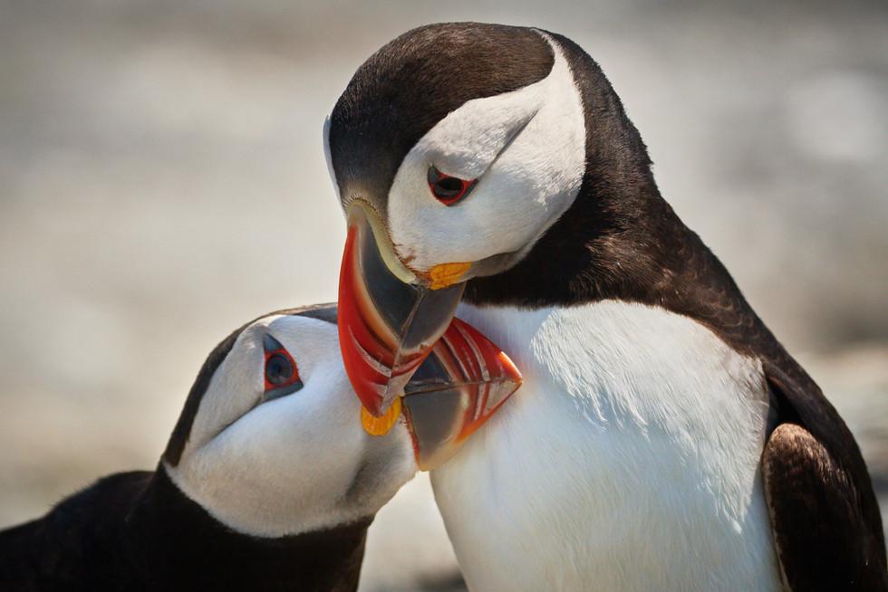 Atlantic Puffins Pair Bonding