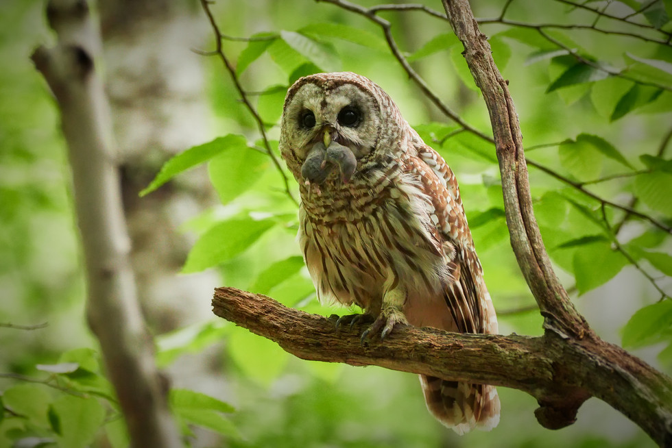 Barred Owl With Food