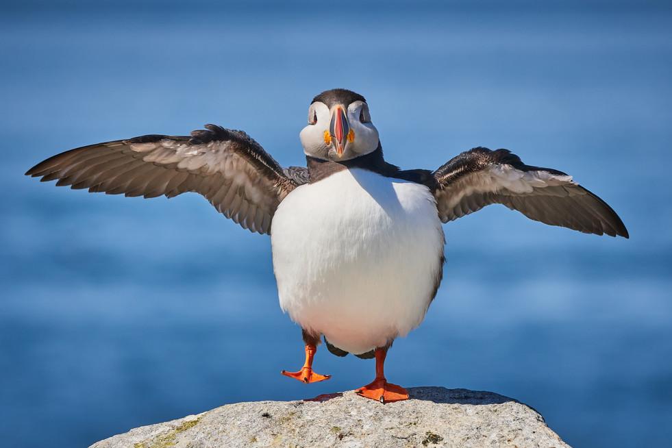 Atlantic Puffin Wing Flap
