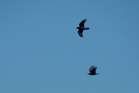 #7: American Crow