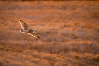 #13: Short-eared Owl 3