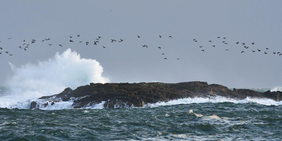 Flight of the Cormorants
