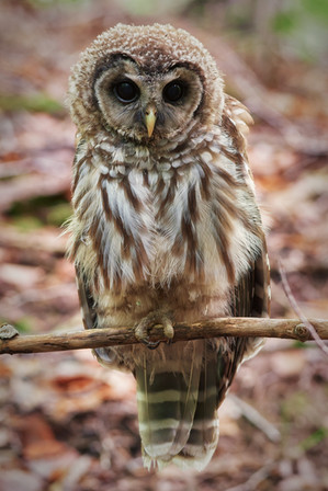 Juvenile Barred Owl 3