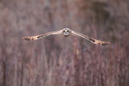 #13: Short-eared Owl 1