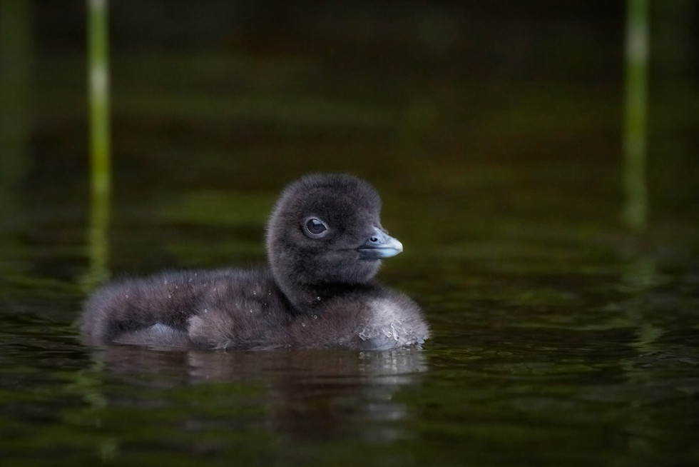 Common Loon Chick