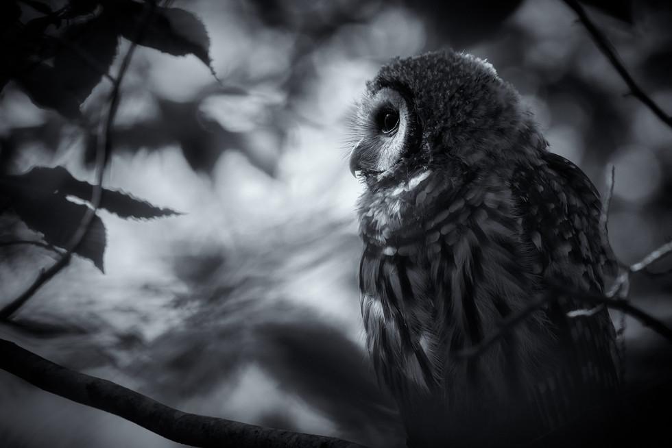 Juvenile Barred Owl 4