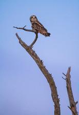 #13: Short-eared Owl 2