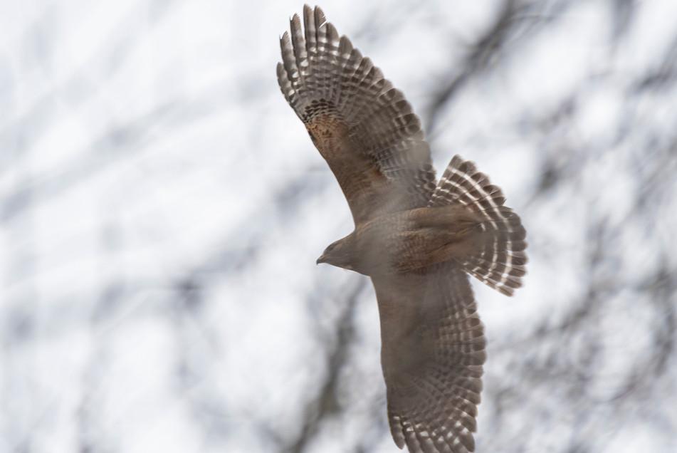 # 24: Red-shouldered Hawk