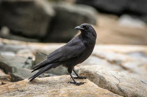 #7: American Crow 2