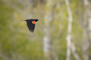 #14: Red-winged Blackbird 4
