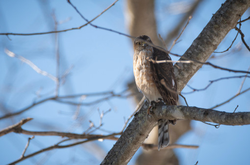 #12: Sharp-shinned Hawk