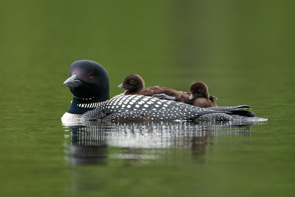 Female Common Loon with Chick