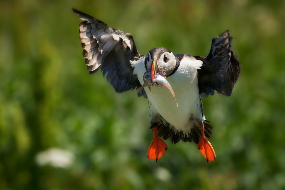 Atlantic Puffin with Food