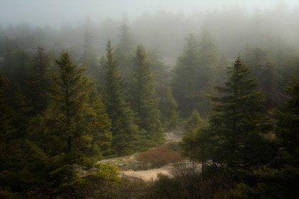 Trees In The Fog 1