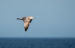 #20: Herring Gull 2