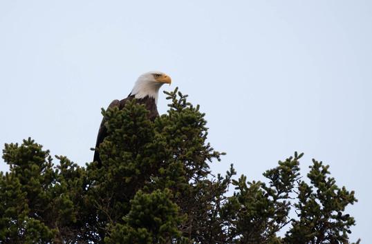 #4: Bald Eagle 3
