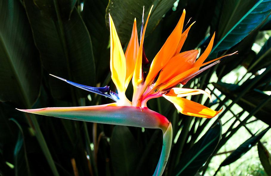 Bird of Paradise Flower-2.jpg