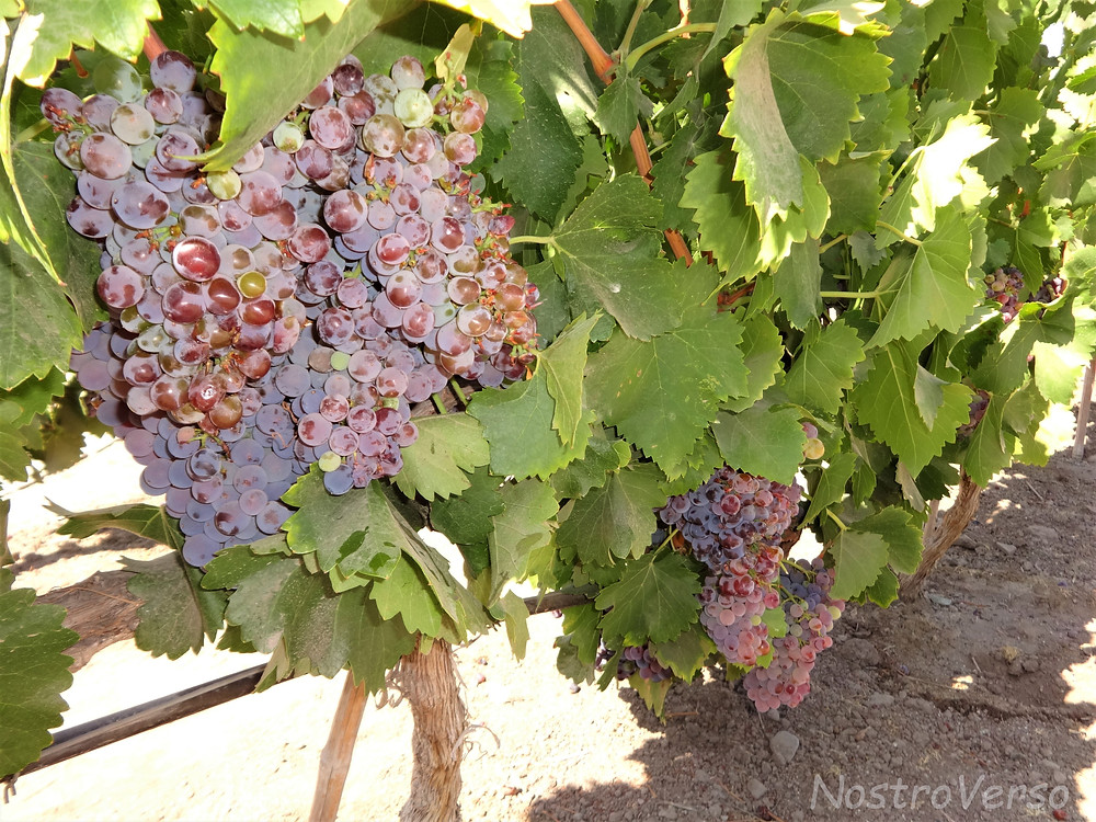 Uvas na Concha Y Toro