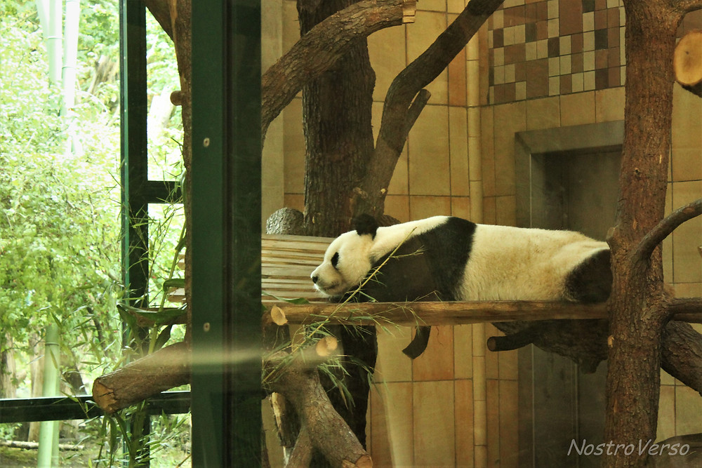 Panda no zoológico de Viena