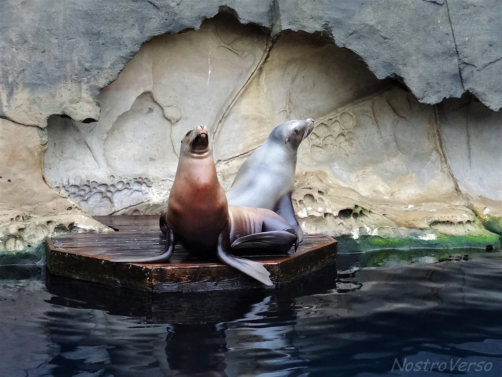 Leões-marinhos no Vancouver Aquarium