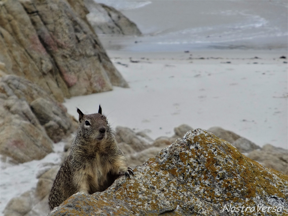 Esquilo em Pebble Beach