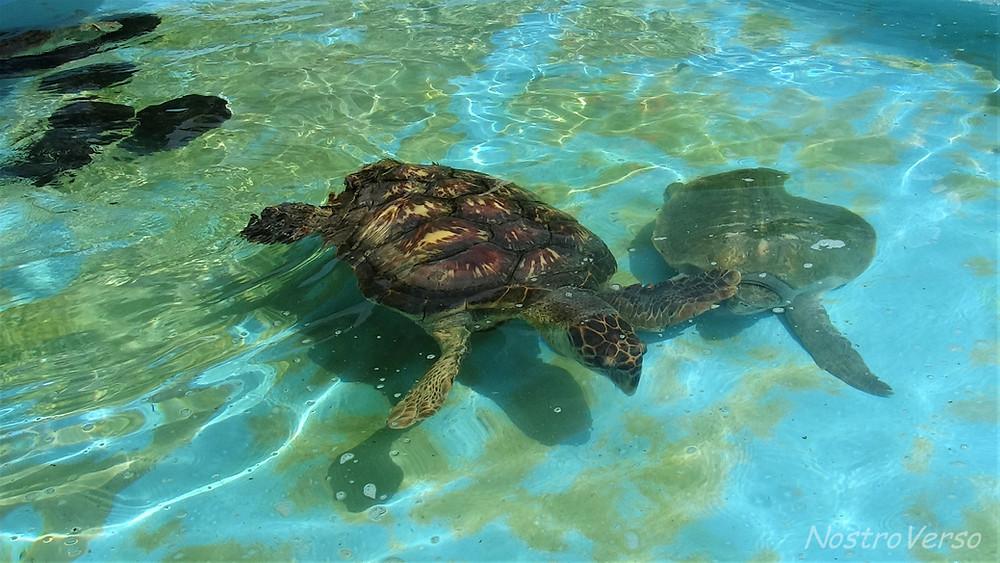 Tartarugas marinhas - Florianópolis