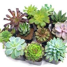 Succulent Plants 12-pack