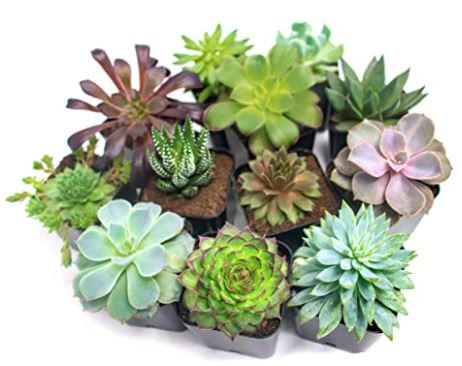 Succulent Plants 12-pack