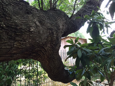 Native American Signal Tree.